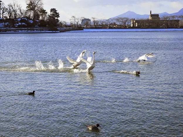 白鳥 (4)