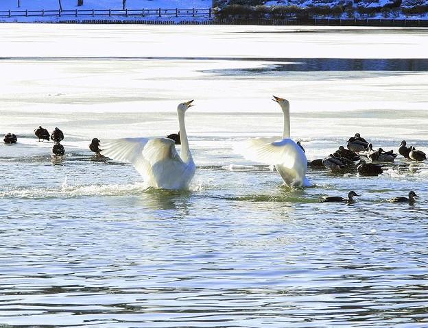 白鳥 (1)