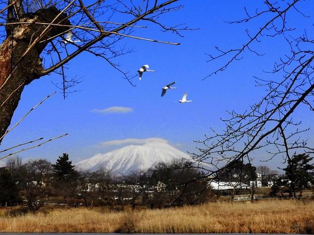 白鳥、岩手山 (1)