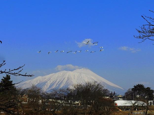 白鳥、岩手山 (5)