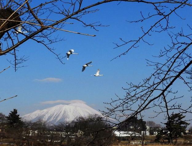 白鳥、岩手山 (8)