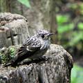 コサメビタキ幼鳥 (2)