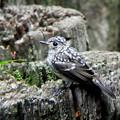コサメビタキ幼鳥 (3)