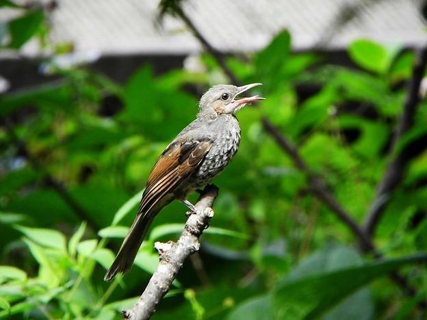 ヒヨドリ幼鳥 (2)