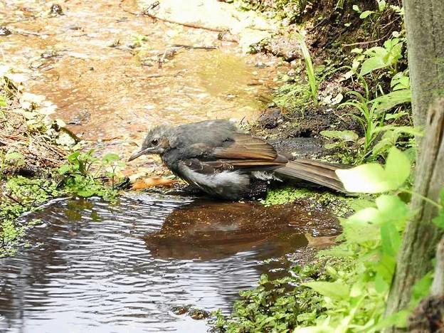 ヒヨドリ幼鳥 (3)