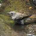 キビタキ幼鳥 (2)