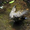 キビタキ幼鳥 (3)