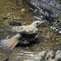 キビタキ幼鳥 (4)