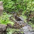 クロツグミ雌幼鳥 (4)