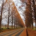 写真: マキノ町メタセコイア並木(2)