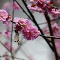 庭の梅(1)