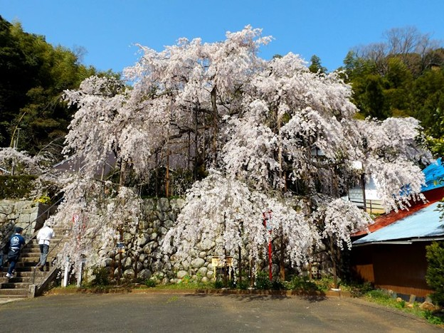 舞鶴市吉田しだれ桜(1)