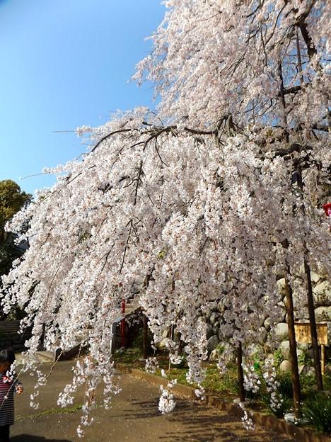 舞鶴市吉田しだれ桜(2)