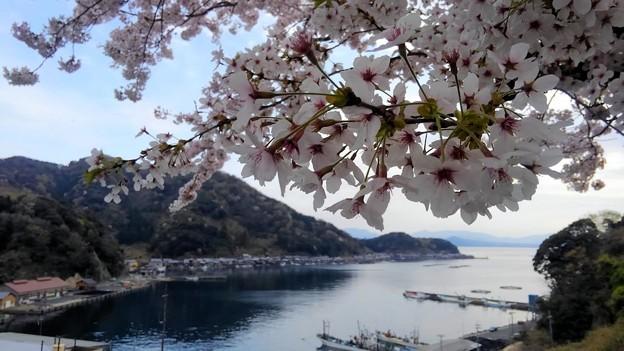 桜咲く伊根浦(6)