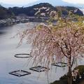 桜咲く伊根浦(7)