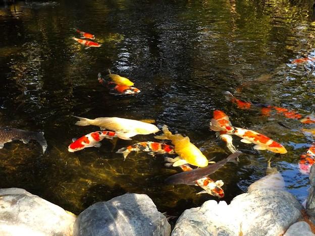 伊勢神宮・池の鯉