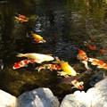 写真: 伊勢神宮・池の鯉