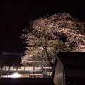 夜桜ライトアップ(3分咲き)