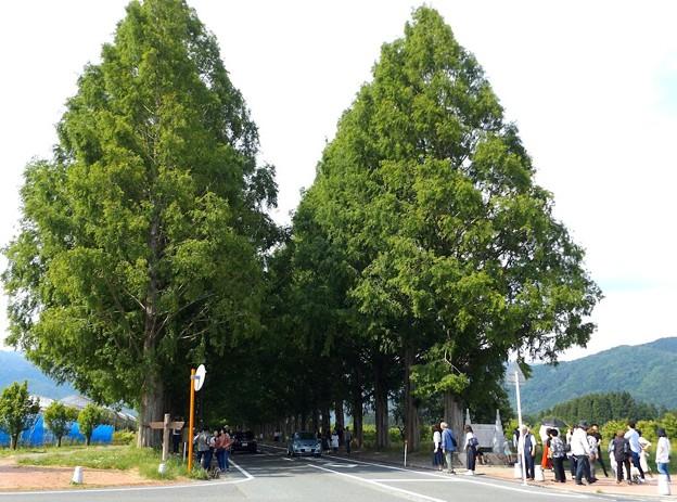 マキノ・メタセコイア並木(1)