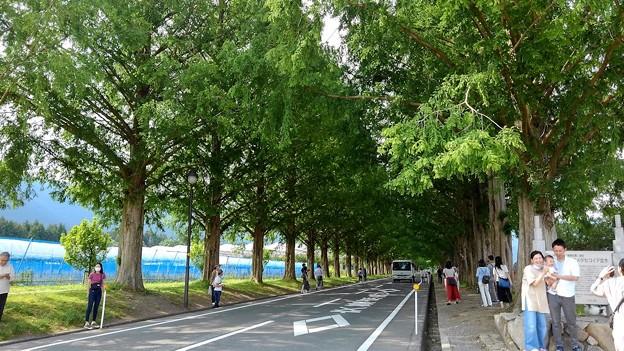 マキノ・メタセコイア並木(2)