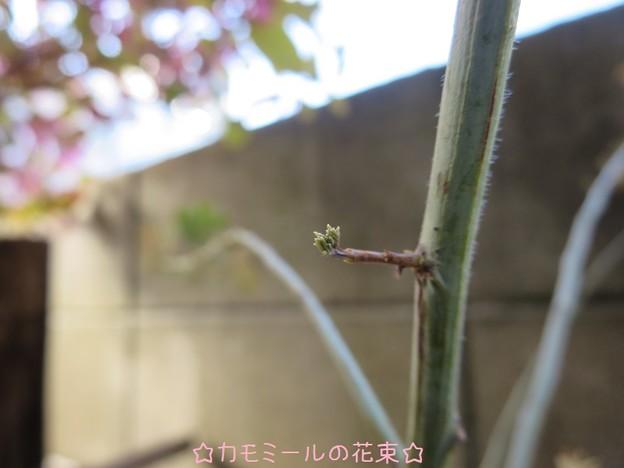 ミモザの芽