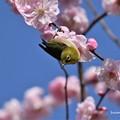 桜梅とメジロ