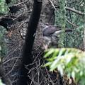 巣を守るメス