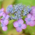 可愛い紫陽花