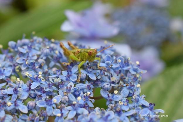 バッタと紫陽花