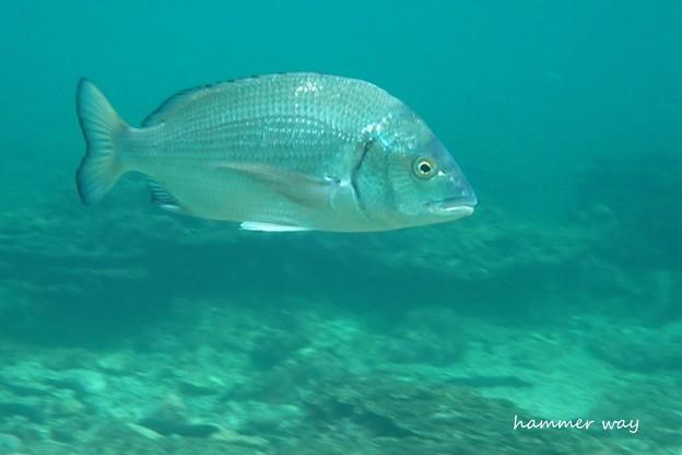 写真: サンゴ礁のクロダイ
