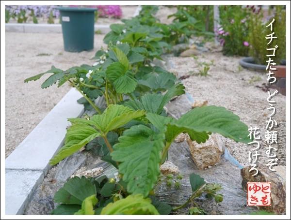イチゴの繁殖
