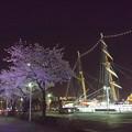 写真: 日本丸と桜