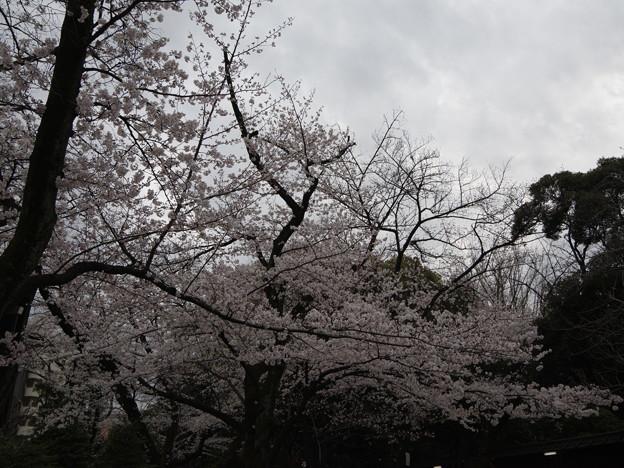 Photos: 2019年桜4