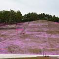 東藻琴芝桜公園 150530 02