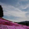 写真: 東藻琴芝桜公園 150530 04