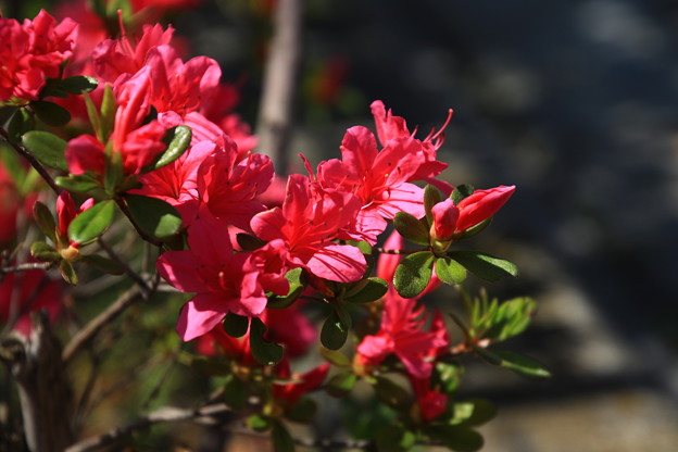 我がマンションの花々180408 02