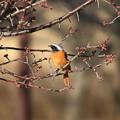 古代蓮の里の野鳥 181227 01