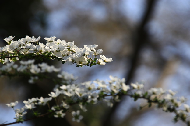 北本自然観察公園の草花 190327 02