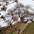 さきたま古墳公園の桜(見頃6日前?) 190329 01