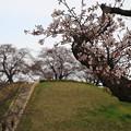 さきたま古墳公園の桜(見頃6日前?) 190329 02