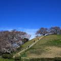Photos: さきたま古墳公園の桜(見頃4日前?) 190401 02