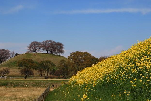 Photos: さきたま古墳公園の桜(見頃4日前?) 190401 03