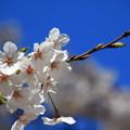 Photos: 岩槻城址公園の桜 190402 01