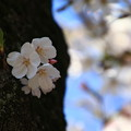 Photos: 岩槻城址公園の桜 190402 03