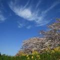Photos: 吉見町さくら堤公園 190405 03
