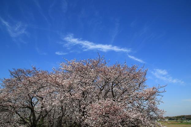 Photos: 吉見町さくら堤公園 190405 04