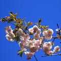 慈光寺の花 190416 03