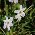 慈光寺の花 190416 05