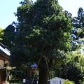 慈光寺の樹 190416 01