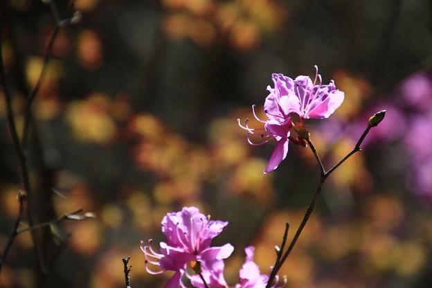 鎌北湖の花 190416 01